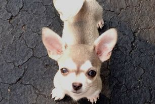 Pics Puppy To Adult Stages Chihuahua Forum Chihuahua Breed Dog