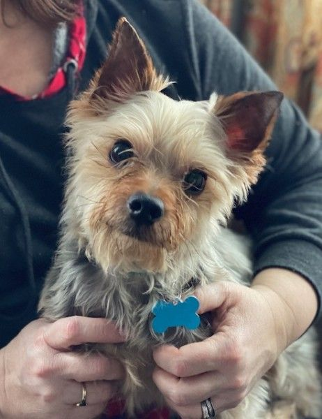 Yorkshire Terrier Dog For Adoption In Plainfield Illinois Buddy In Plainfield Illinois In 2020 Dog Adoption Yorkshire Terrier Adoption Rescue Dogs For Adoption
