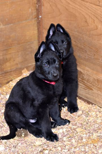 Black German Shepherd Puppies In Ohio In 2020 Black German