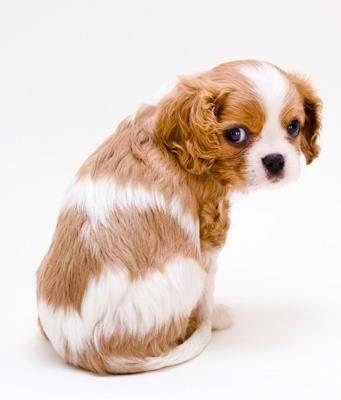 Cavalier King Charles Spaniel Blenheim Coat Puppy King Charles Cavalier Spaniel Puppy King Charles Spaniel Cavalier King Charles Dog