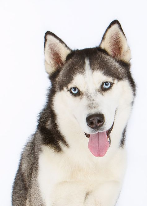 Daily Dose May 15 2017 Smiling Jack Siberian Husky 2017