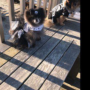 Yellow And Gray Polka Dot Harness Dog Dress Dog Dresses Dog Harness Grey Dog