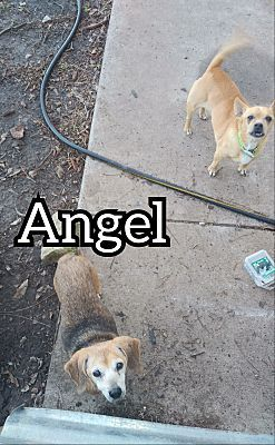 Lavon Tx Mixed Breed Small Meet Angel A Pet For Adoption Mixed Breed Pet Adoption Pets