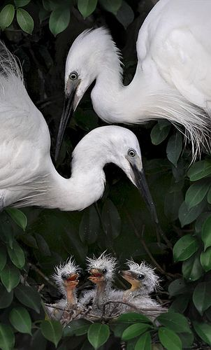 Little Egrets - Taken at Pinglin, New Taipei City, Taiwan