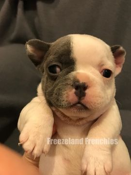 American Bulldog Puppies For Sale In Ohio Zoe Fans Blog