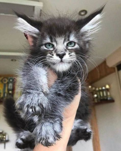 grey kitty - Cats And Kittens Pretty Cats, Beautiful Cats, Animals Beautiful, Cute Cats And Kittens, Kittens Cutest, Cute Baby Animals, Funny Animals, Image Chat, Maine Coon Cats