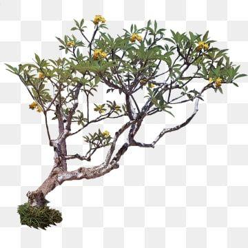 Plumeria Pohon Kamboja Kuning Pohon Tanaman Pohon Pohon Indonesia Png Transparent Clipart Image And Psd File For Free Download Plumeria Plumeria Tree Plumeria Pudica