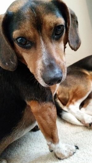 Adopt Niles Fostered In Omaha Ne On Beagle Dog Adoptable