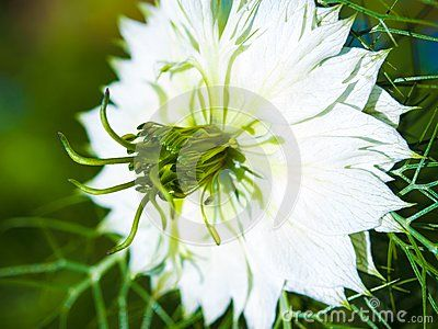 A Macro Photo Of One White Love In The Mist Flower With A Blurred Green Floral Background Floral Background Macro Photos Mists