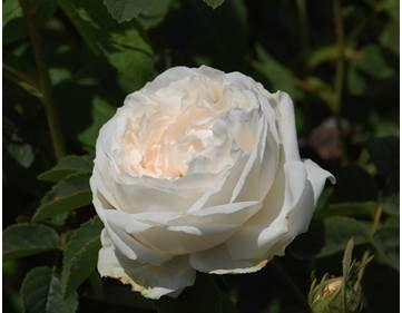Fiori Bianchi Simili Alle Rose.Rosa Blanchefleur Fiori Bianchi Rose Fiori