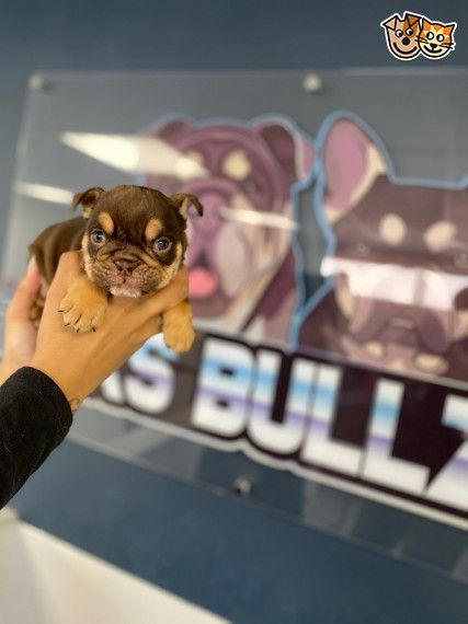 English Bulldog Puppies English Bulldog Puppies Bulldog Puppies Puppies