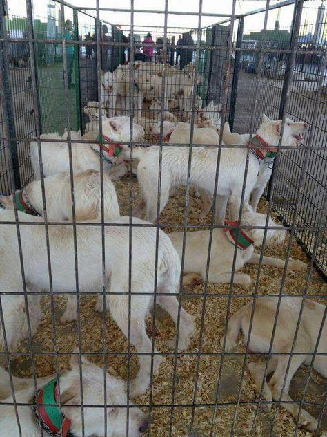 Pacma denunciará por un posible incumplimiento de la ley de protección de animales en Ibercaza