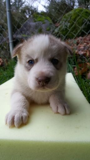 Siberian Husky Puppy For Sale In Camas Wa Adn 63895 On