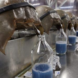 Pin On Horseshoe Crab Blood For Sale