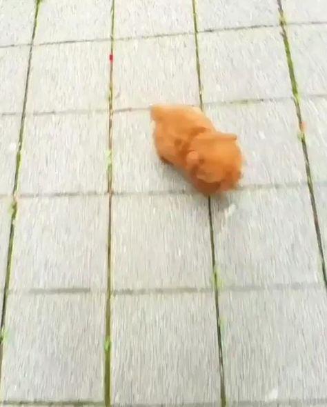 Cute Teacup Puppy ❤