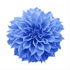 Perennials Dahlia Blue Dahlia Dahlia Tattoo Watercolor Dahlia Aesthetic Dahlia Quilt Dahlia Garden L In 2020 Dahlia Flower Arrangements Blue Dahlia Dahlia Flower