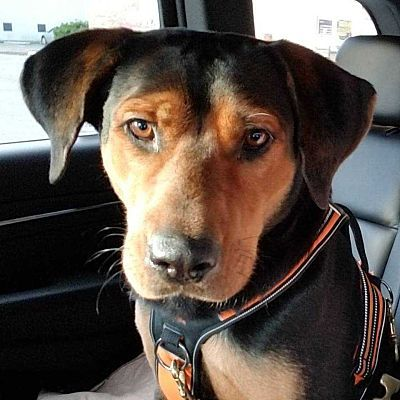 Whitestone Ny Rottweiler Meet Elena Aka Momma A Pet For Adoption Rottweiler Pets Cat Adoption