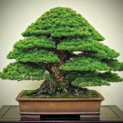 46 Very Attractive Bonsai Indoor Trees Ideas For Indoor Decorations Bonsai Tree Indoor Bonsai Tree Bonsai Tree Types
