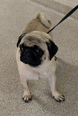 Troy Oh Pug Meet Marvin A Dog For Adoption Pugs For