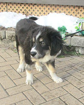 West Chicago Il Bernese Mountain Dog Meet Cronin A Pet For Adoption Mountain Dogs Bernese Mountain Dog Pet Adoption