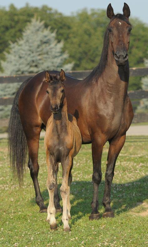 Mare and foal - Cedar Creek Pirouette « Dragonsmeade Baby Horses, Cute Horses, Horse Love, Wild Horses, Most Beautiful Horses, All The Pretty Horses, Animals Beautiful, Beautiful Babies, Morgan Horse