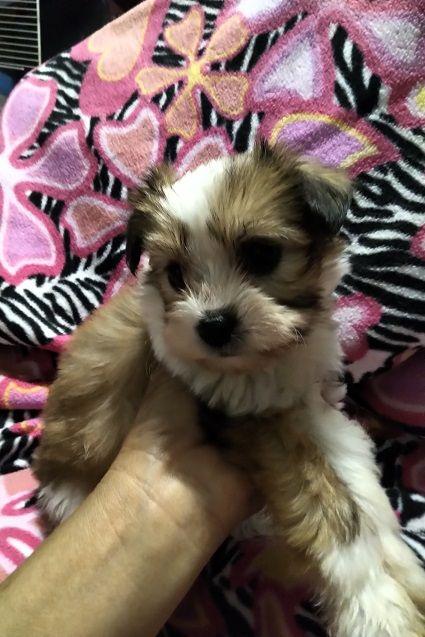 Sweetest Little Female Shih Poo Dog Face Shih Tzu Poodle