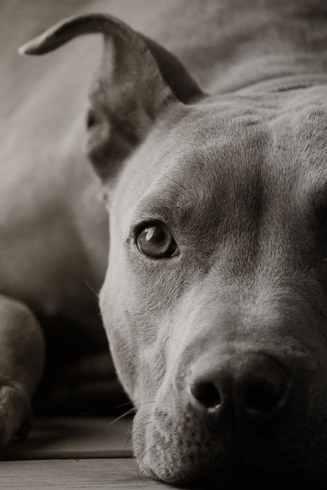 Portrait of a Pitbull, by ptagolfer