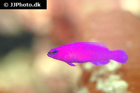 Orchid Dottyback Pseudochromis Fridmani In Aquarium Cat Training Puppy Training