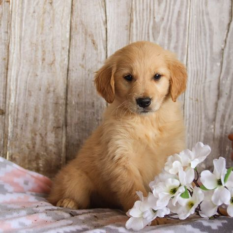 Puppies For Sale Golden Retriever Puppies Dogs Golden Retriever