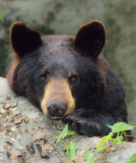 AMERICAN BLACK BEAR....a bear found in North America's woodland and forest areas....the world's most common bear species....averages 100 to 300 pounds....measures 4.25 - 6 feet long....stands 28 to 41 inches tall on all fours....has short claws for tree climbing....able to run up to 30 mph