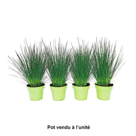 Juncus Pencil Grass Pot 0 65l Home Jardin Jardinerie