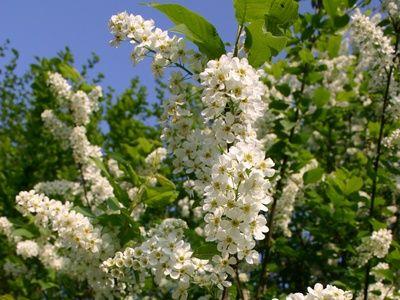 Dehner Obststrauch Zierquitte Quitte aromatisch duftende essbare Früchte NEU