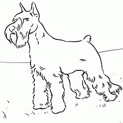 Schnauzer Coloring Vfbi Schnauzer Coloring Page Dog Patterns