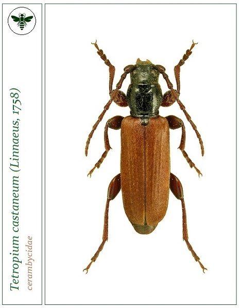 Macro Insetos おしゃれまとめの人気アイデア Pinterest Victor カミキリムシ 甲虫類