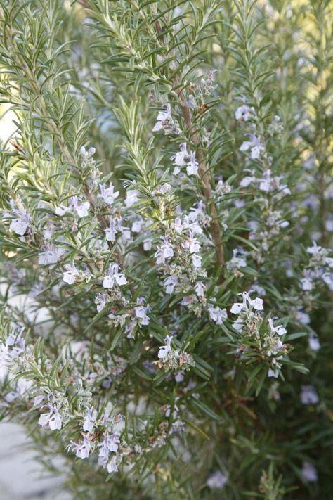 Rosmarin Vermehrung Und Pflegetipps Garten Garten