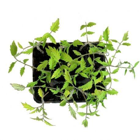 Tomate Corazon De Buey Ecologico Polinizacion De Las Plantas Abono Organico Tomate