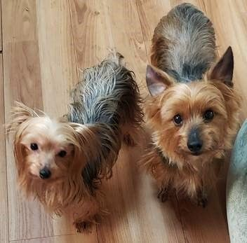 Meet Lizzie And Roxy In Nj Bonded Pair An Adoptable Pet Dog Cute Puppy Breeds Yorkshire Terrier Yorkie Yorkshire Terrier