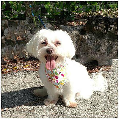 Maltese Rescue Home Page Yorkie Puppy Maltese Yorkie