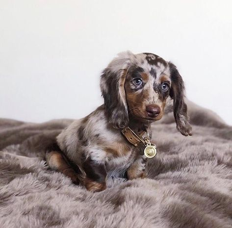 Such a cute puppy Relaxing Free Fun And Unique Dog Training E-book Featuring 21 Brain Games To Increase A Dogs Intelligence . Baby Animals Pictures, Cute Animal Pictures, Funny Animals, Dapple Dachshund Puppy, Dachshund Funny, Baby Dachshund, Long Haired Dachshund, Cute Dogs Images, Weenie Dogs