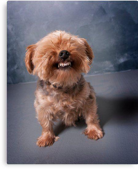 Yorkie Smiling Canvas Print By Ilze Lucero Yorkshire Terrier Puppies Yorkshire Terrier Yorkie Dogs
