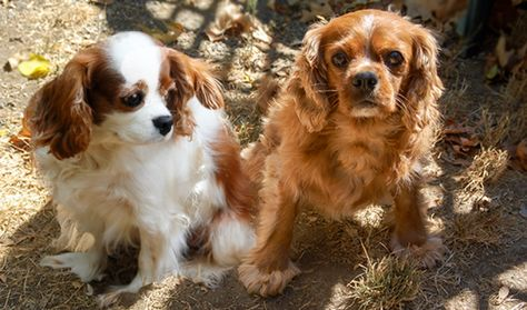 Charlie And Lilly In Gilroy Ca Cavalier Rescue Cavalier Cavalier King Charles Spaniel
