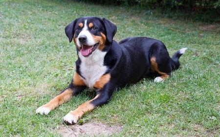 Appenzeller Sennenhund Entlebucher Mountain Dog Dog Breeds Mountain Dogs