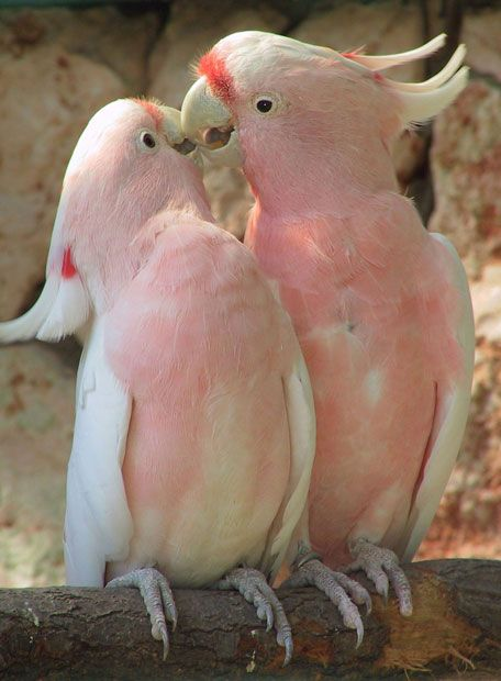 Two cockatoos are in the pink