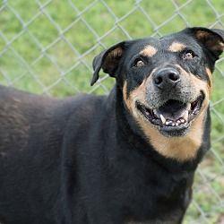 Pin By Lea Nichols On Helping Precious Animals Rottweiler Animal Shelter German Dog Breeds