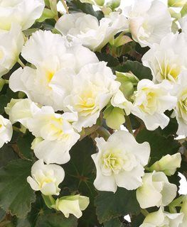 Glory White Begonia Rieger Begonia White Flower Proven Winners Sycamore Il Begonia Plants White Plants