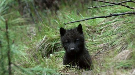 See adorable wolf pups explore their home in this excerpt from NATURE (video)
