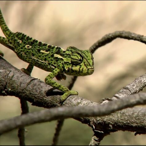 It's #WorldLizardDay! Watch how fast a chameleon tongue can snatch its prey (0.07 seconds to be exact). #chameleons #chameleonsofinstagram #lizard #lizards #lizardsofinstagram #reptile #reptiles #reptilesofinstagram #reptilelover #tongue #animals #wildlife #nature #omnomnom
