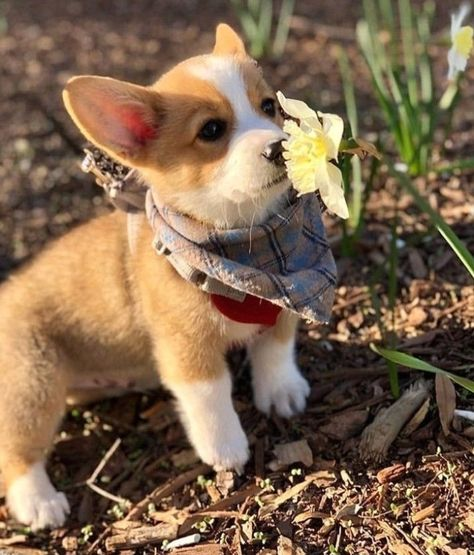 "Corgi Lovers 🐾 on Instagram: ""Throwback to the first flower of spring 🌻⁠ -⠀⁠ 👫 Tag a friend⠀⁠ 👉 Follow @corgi.mob⠀⁠ 👉 #corgi_mob to be featured⠀⁠ -⁠ 📷…"" #puppy #Labrador #Retriever"