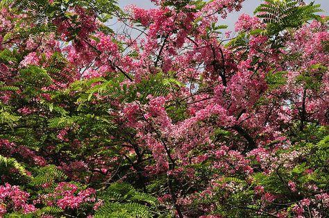 Java Cassia Cassia javanica Flowering Season : April – May