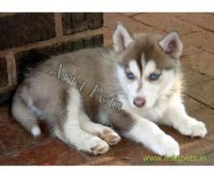 Siberian Husky Puppy For Sale In Vijayawada At Best Price Now Buy Healthy Pups For Sweet Home Our Husky Puppies For Sale Husky Puppy Puppies For Sale